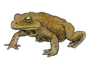 Notobatrachus.jpg