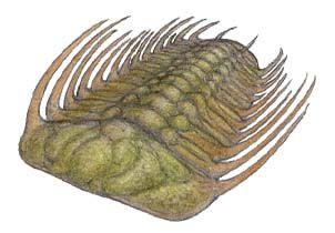 Selenopeltis.jpg