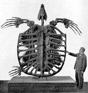 567px-Archelon skeleton