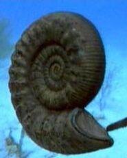 Ammonite p1