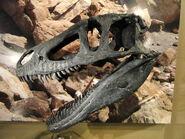 Marshosaurus-crest-skull
