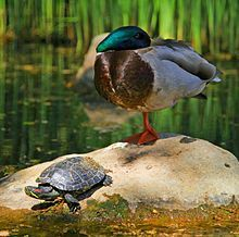 220px-Tortoise and the duck.jpg