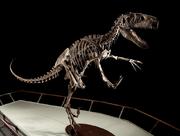 Utahraptor skeleton.png
