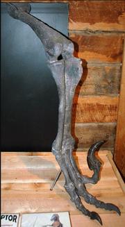 Right leg fossil of Utahraptor.png