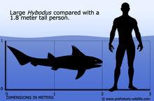 Hybodus-size.jpg