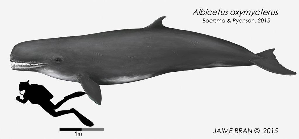 Albicetus