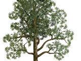Glossopteris Tree