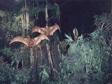 Cearadactylus