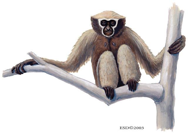 Bunopithecus