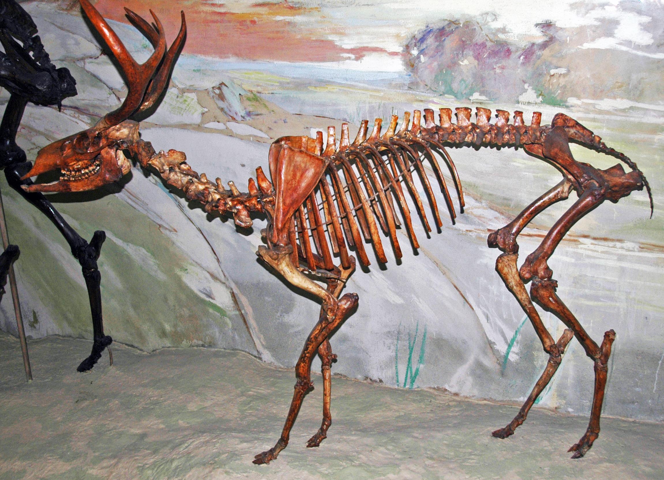 American mountain deer