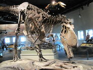 Daspletosaurus - front