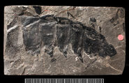 Fossil arthropleura