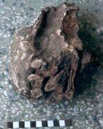 Gspsaurus-pakistani-holotypic-skulls-MSM-79-19-posterior-views-found-from-Alam-Kali-Kakor