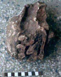 Gspsaurus-pakistani-holotypic-skulls-MSM-79-19-posterior-views-found-from-Alam-Kali-Kakor.jpg