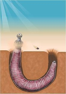 220px-Ottoia burrowing.jpg