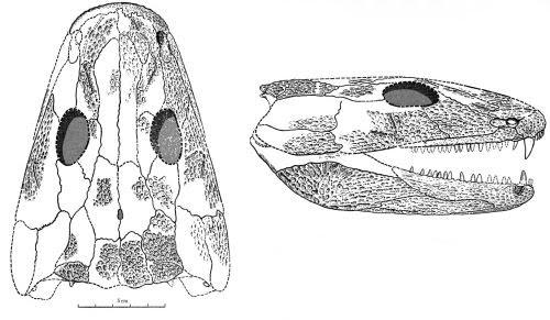 Pholidogaster
