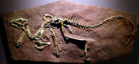 Heterodontosaurus cast.jpg