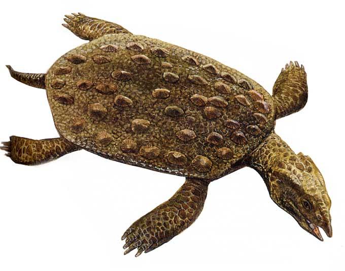 Placochelyidae