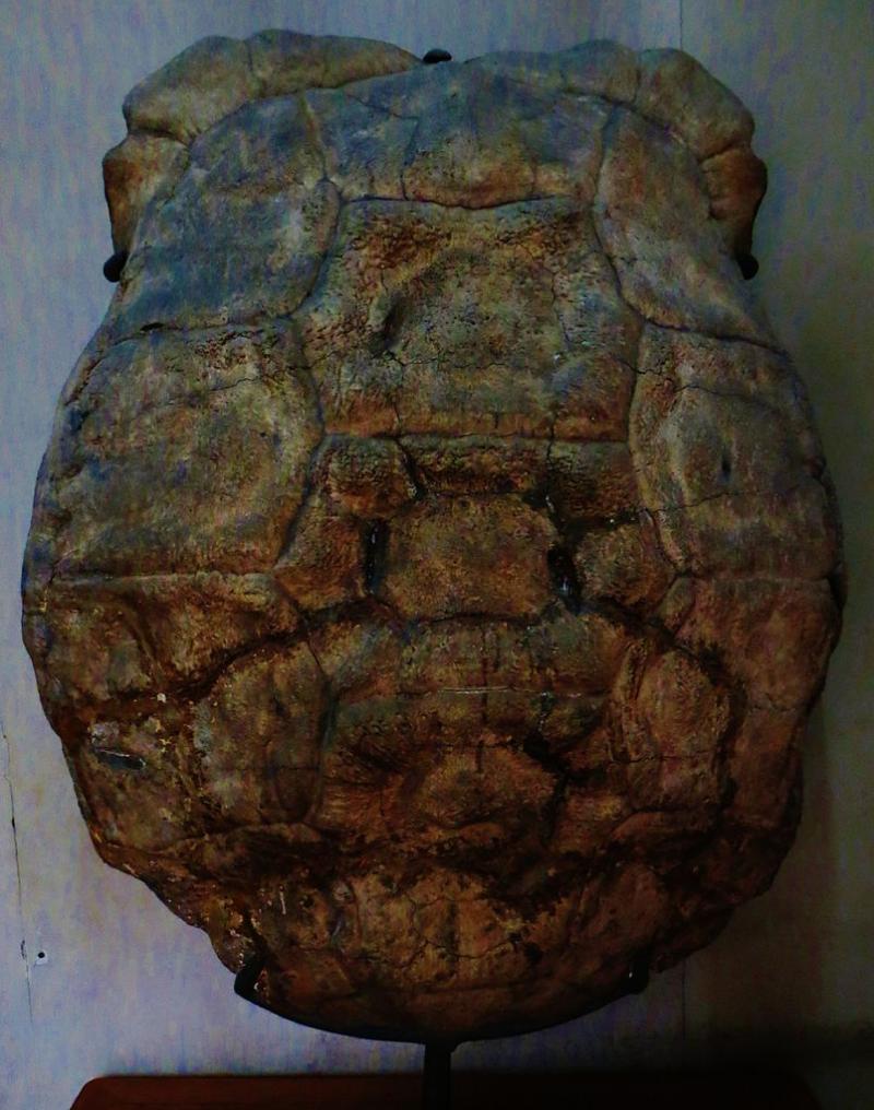Aldabrachelys grandidieri