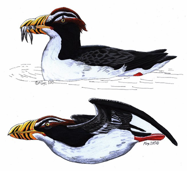 Dow's puffin
