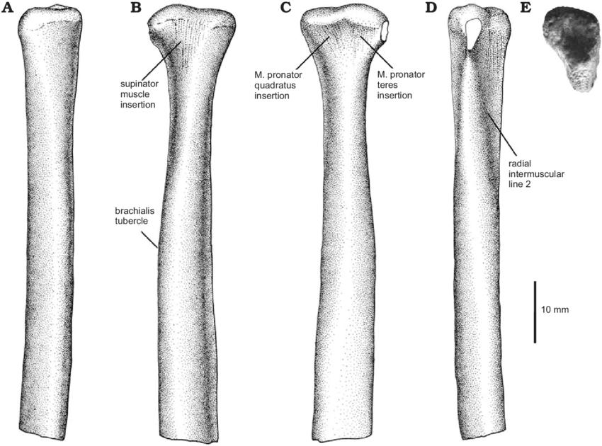 Araucanoraptor