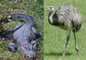 Chinese alligator and rhea.jpg
