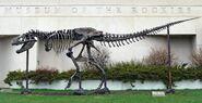 "T-Rex skeleton ""Big Mike"" at Museum of the Rockies"