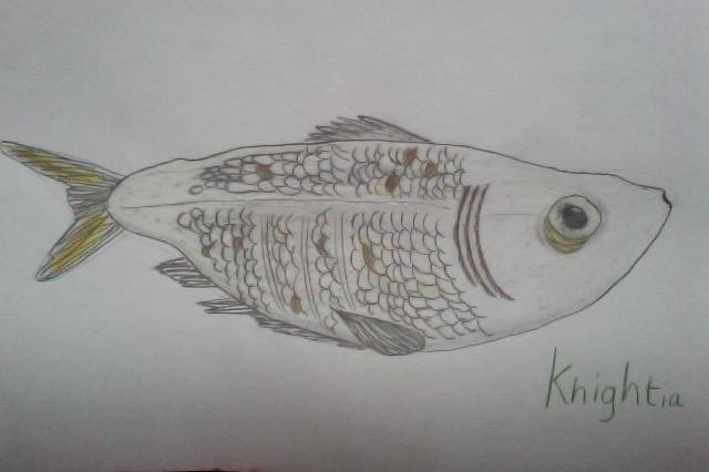 Knightia