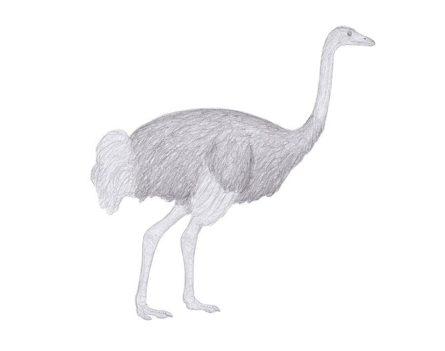 Asian ostrich