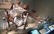 Stegosaurus at the Field Museum