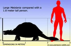 Meiolania-size.jpg