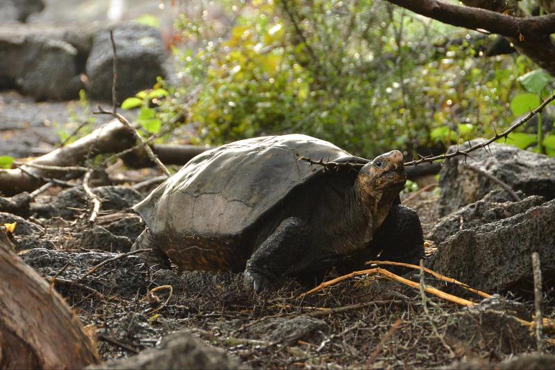 Fernandina Island Galápagos tortoise