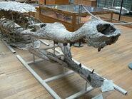 1280px-Sarcosuchus imperator side
