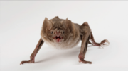 Vampire Bat quadruped.jpg.png