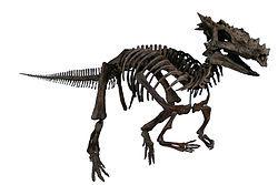 Dracorex fossil.jpg