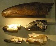 Sarcosuchus imperator teeth