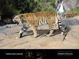 Ngandong Tiger