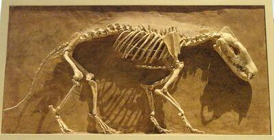 800px-Hyaenodon horridus, Niobrara County, Wyoming, USA, Late Oligocene - Royal Ontario Museum - DSC00114.jpg