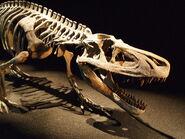 Saurosuchus skeleton