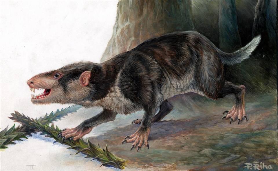 Acinacodus