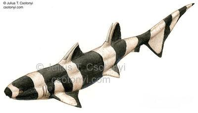 Ctenacanthus.jpg