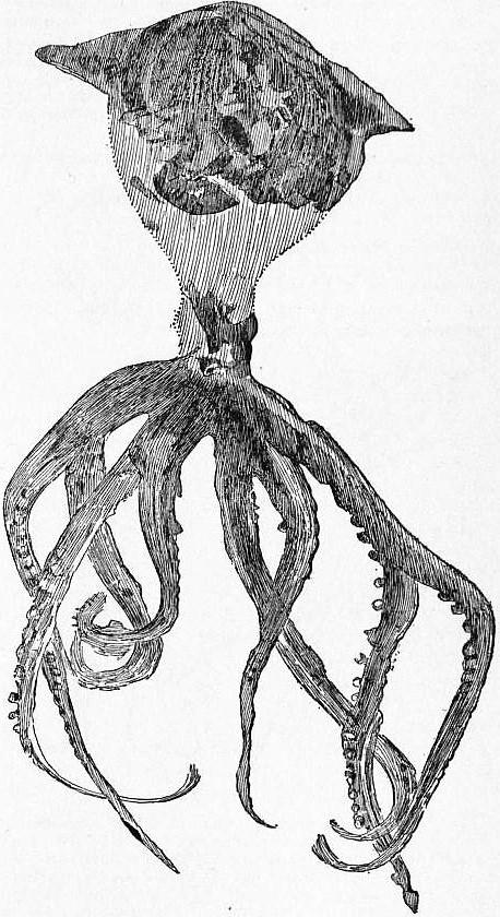 Palaeoctopus