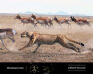 Miracinonyx-trumani-(hunting)-738x591