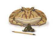Art illustration of Beelzebufo meets frog