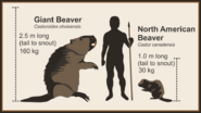 Giant-beaver-size-comparison