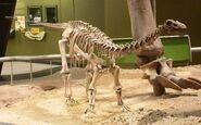 Baby Apatosaurus OMNH