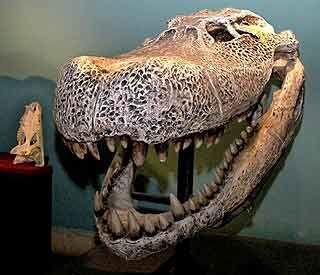 Giant caiman skull.jpg