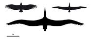 Pelagornis sandersi compare size