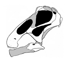 20110520083246Bonitasaura-skull.png