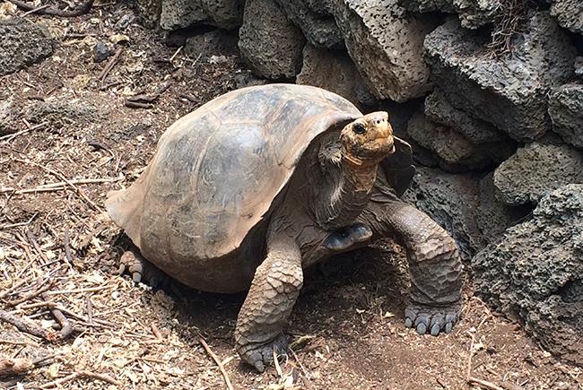 Floreana Island Tortoise